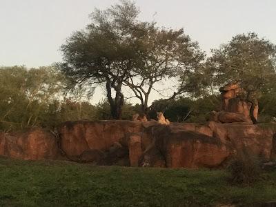 WDW Trip report lions